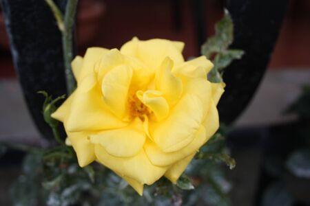 particular yellow flower bloom grown on a succulent plant Archivio Fotografico - 126435946