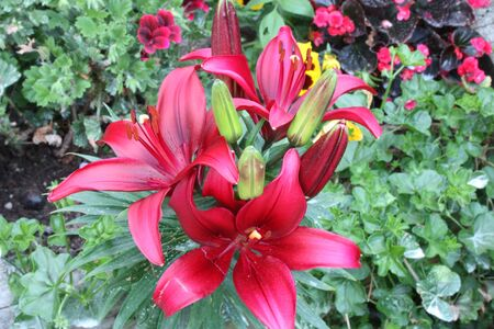 flowering red lily plant. botanical close-up and floral detail