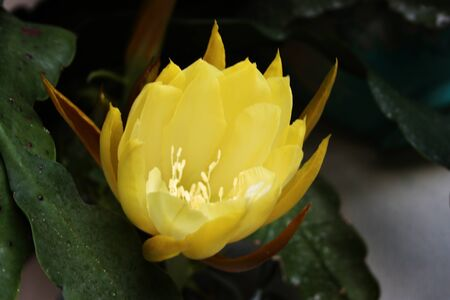 particular yellow flower bloom grown on a succulent plant Archivio Fotografico - 126469005