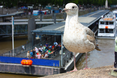 seagull on the Thames River in London