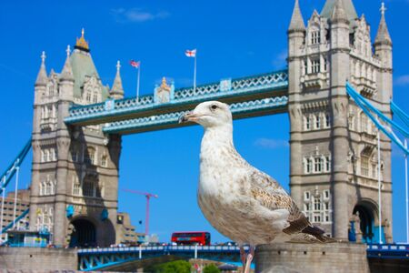 Selective focus on an English seagull. in the background the ancient tower of london in Uk