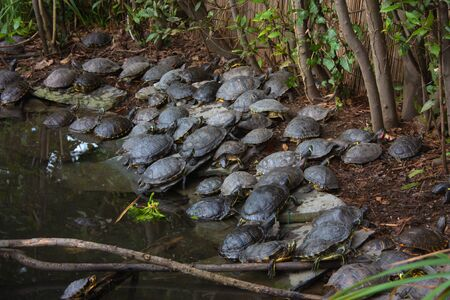 specimens of large water turtles resting near a pond in the undisturbed forest in italy Фото со стока