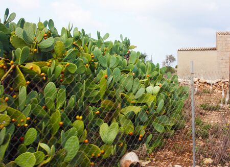 large succulent green cactus plant with orange and yellow fruits beyond a wire mesh