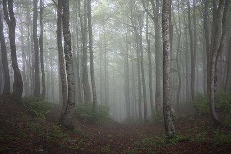 forest of beech trees surrounded by vegetation and dense mountain fog in countryside of tuscany Standard-Bild
