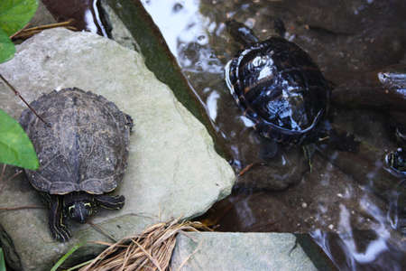 land quiet turtle reptiles in a marshy park in vegetation on rocks in tuscany