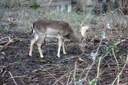 wild brown deer with horns in the forest rests in the winter in front of a pond in tuscany