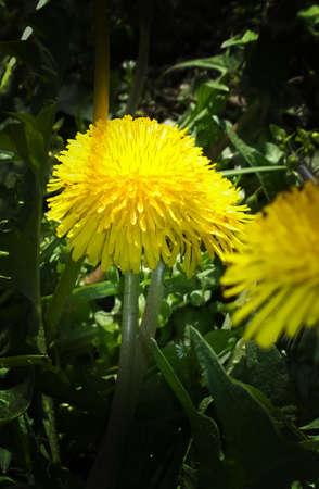 herbolaria: flor de diente de le?n amarillo Foto de archivo