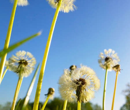 seasonality: stalks of dandelion flower and dandelion Stock Photo