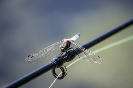 Black Dragonfly over Fishing Rod