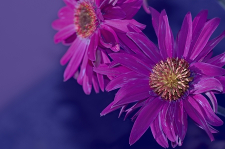 gerbera Stock Photo - 13696698