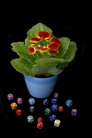 calceolaria: playing with nature  Stock Photo