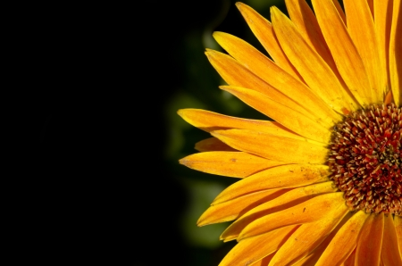 big daisy: gerbera Stock Photo