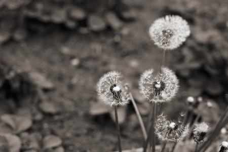 Monochrome image, dandelions