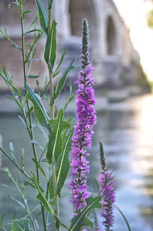 violet river flower standing under a bridge Stock Photo