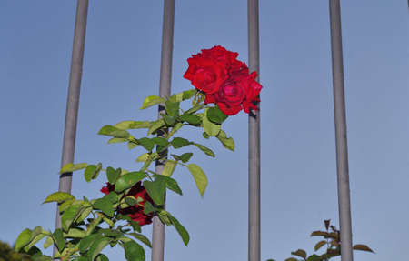 close view of red roses behind a bars