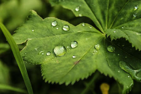 A drop of dew on the leaves of the grass in the woods. Stock Photo