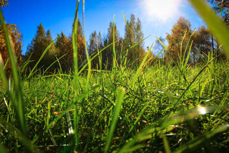 the sun peeks through the bright green grass backlit by the morning raysbright green grass backlit by the rays of the sun against a blue sky and autumn forest