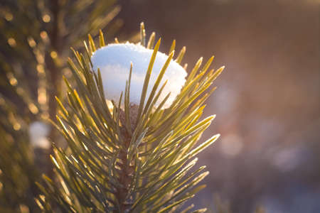 the photo of the winter forest in cold tones green needles of a fir-tree in hoarfrost from a cap from the first dropped-out snow it is illuminated by beams of the sun