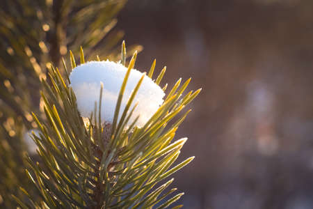the photo of the winter forest in cold tonesgreen needles of a fir-tree in hoarfrost from a cap from the first dropped-out snow it is illuminated by beams of the sun