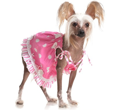 groomed: cute Chinese Crested Dog in pink dress on background