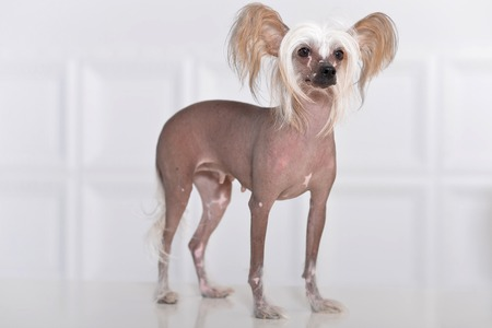 Portrait of a cute Chinese Crested Dog on background Stock Photo