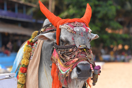 Close up view of bull in traditional indian accessories Stock Photo