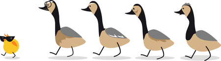 Little self-confident gosling leading a group of old geese
