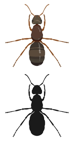 Ant, color image and silhouette. Vector illustration.