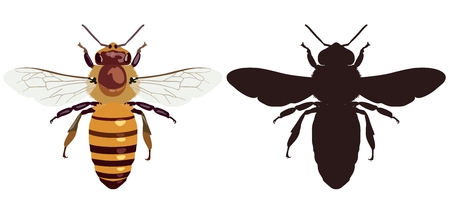 Vector picture of an ordinary bee in color and its silhouette on a white background. View from above. Insect.