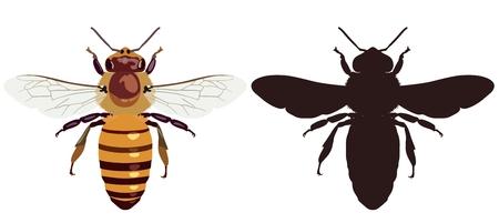 Vector Bild einer gewöhnlichen Biene in der Farbe und von seinem Schattenbild auf einem weißen Hintergrund. Sicht von oben. Insekt.