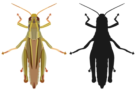 Vector illustration of a colored grasshopper and its silhouette isolated on white background, top view.
