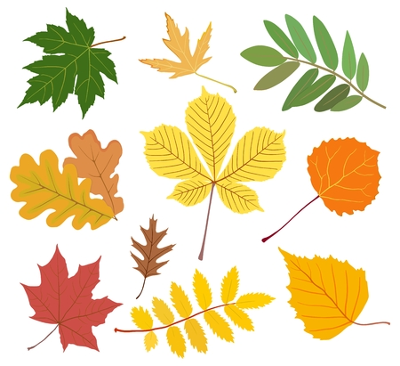 Collection of autumn maple leaves, chestnut, aspen, oak, mountain ash, birch in yellow, red, green colors.