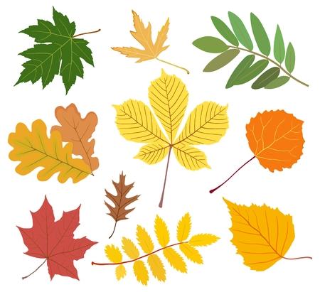 Colección de otoño hojas de arce, castaño, álamo temblón, roble, ceniza de montaña, abedul en colores amarillo, rojo, verde.