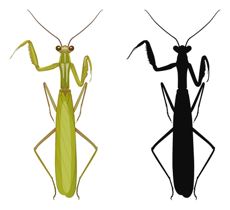 Vector illustration of colored mantis and its silhouette isolated on white background, top view. Illustration