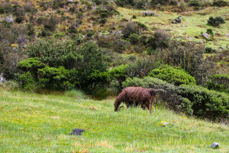 Lonely brown Alpaca eating green grass on the Andes mountains along the historical Inca Trail stone path to Machu Picchu. Peru, South America. No people. 写真素材