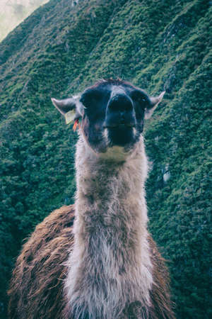 Lonely Llama, also called Alpaca, eating on ancient Inca farming terrace on the Inca Trail to Machu Picchu. Peru, South America. No people. Stock Photo