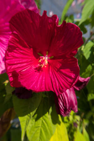 Nature wallpaper background of red Ibiscus or Hibiscus flower. No people.