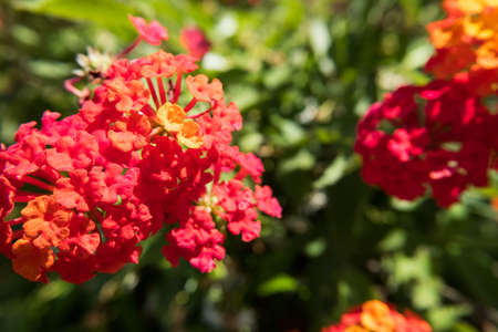 Nature flower wallpaper background red and yellow Lantana Camara also known as Big-sage, Wild-sage, Hedge Flower, Weeping Lantana, Lantana Camara Linn or Tickberry. Banque d'images