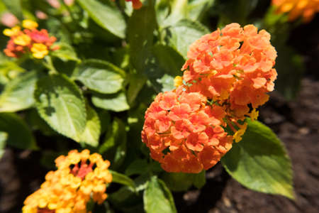 Nature flower wallpaper background red and yellow Lantana Camara also known as Big-sage, Wild-sage, Hedge Flower, Weeping Lantana, Lantana Camara Linn or Tickberry. 写真素材