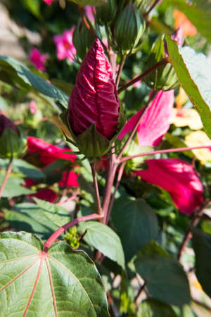 Blooming buds of red Hibiscus Flower. No people. Banque d'images