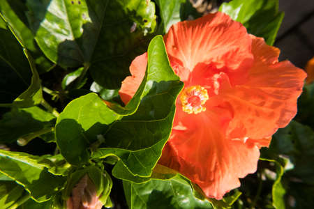Nature wallpaper background of orange Hibiscus flower. No people. Banque d'images