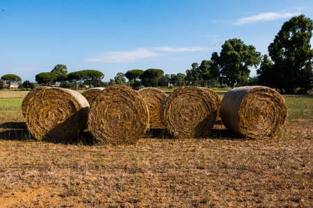 Rural nature agriculture wallpaper background of hay rolls drying under the sun on a summer day with blue sky background. No people.