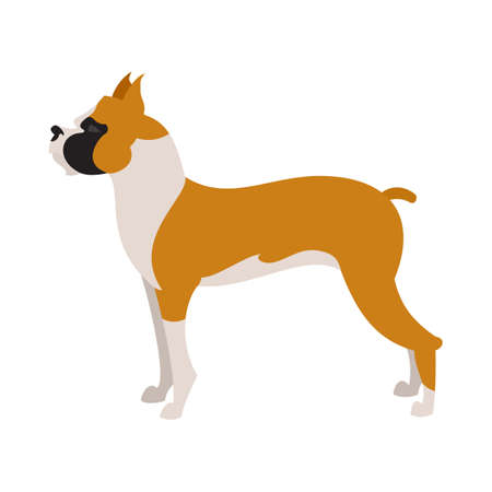 Boxer dog breed in flat style, pet domestic purebred,  illustration Illustration