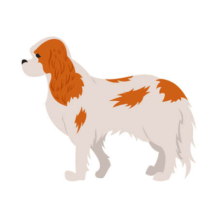 Cavalier king charles spaniel hound or dog and purebred animal,  illustration Illustration