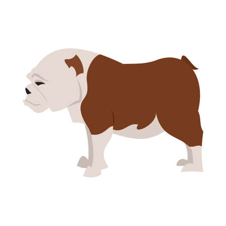 stocky: English bulldog breed, vector pet animal and illustration dog domestic