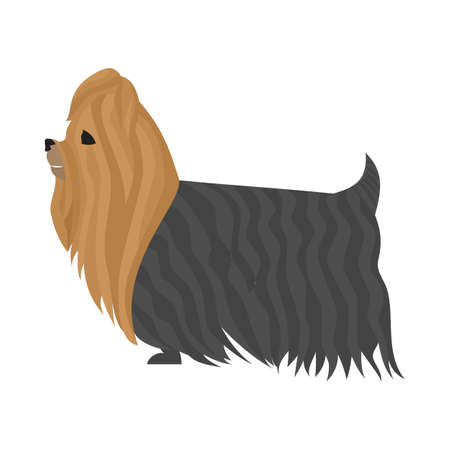 yorkshire terrier: Dog yorkshire terrier and animal domestic in flat style isolated on white background,  illustration