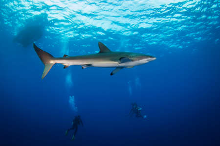 Huge white shark in blue ocean swims under water. Sharks in wild. Marine life underwater in blue ocean. Observation of animal world. Scuba diving adventure in sea of Cortez, coast of Mexico