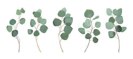 Eucalyptus silver dollar greenery, gum tree foliage natural leaves. 矢量图像