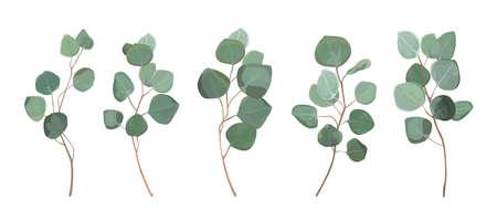 Eukaliptus srebrny dolar zielony, liście drzewa gumowego, naturalne liście.