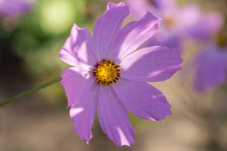 purple cosmos in the sunlight in the garden